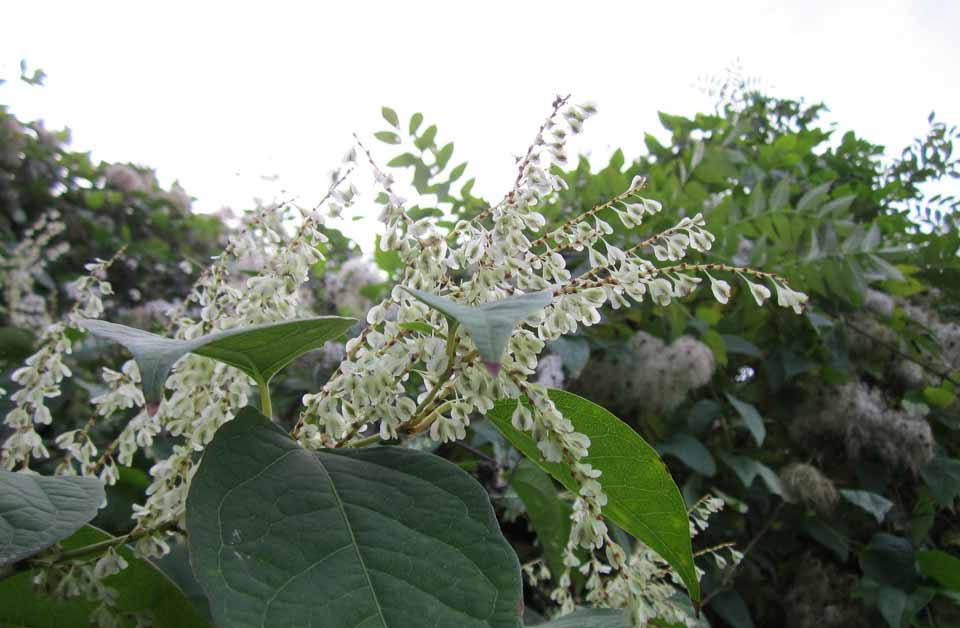 Phoenix Legal Solicitors - Have you been affected by Japanese Knotweed?